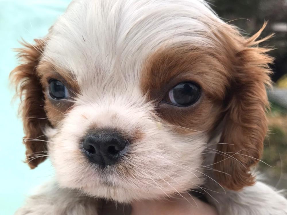 キャバリア 保護 犬