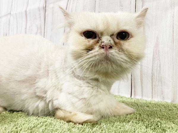 猫 マンチカン 保護 マンチカン子猫●●●本文をよくご覧下さいませ。 ●●●アゴはネコ里親譲渡保護猫